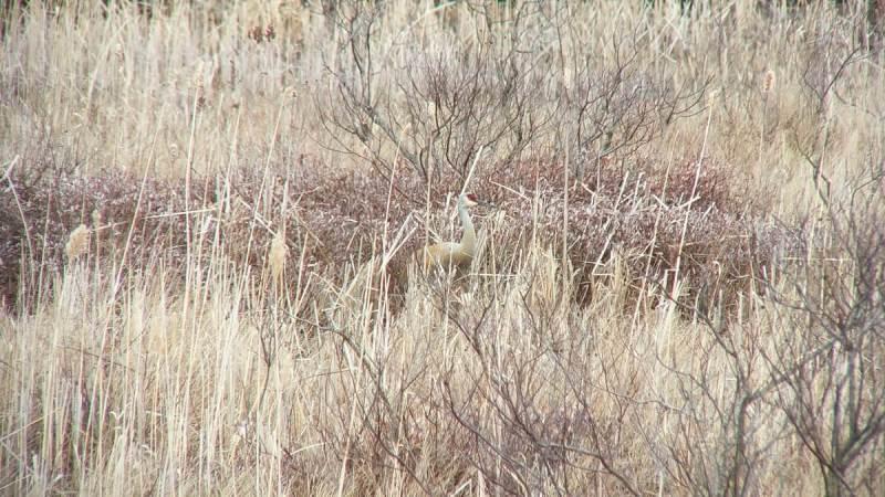 An image of a Sandhill crane in the wetlands at Grass Lake near Cambridge, Ontario, Canada