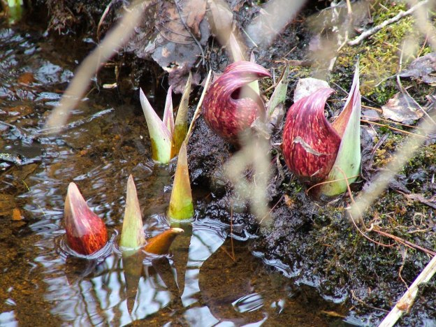 skunk cabbage _dickson Conservation area_ontario 8