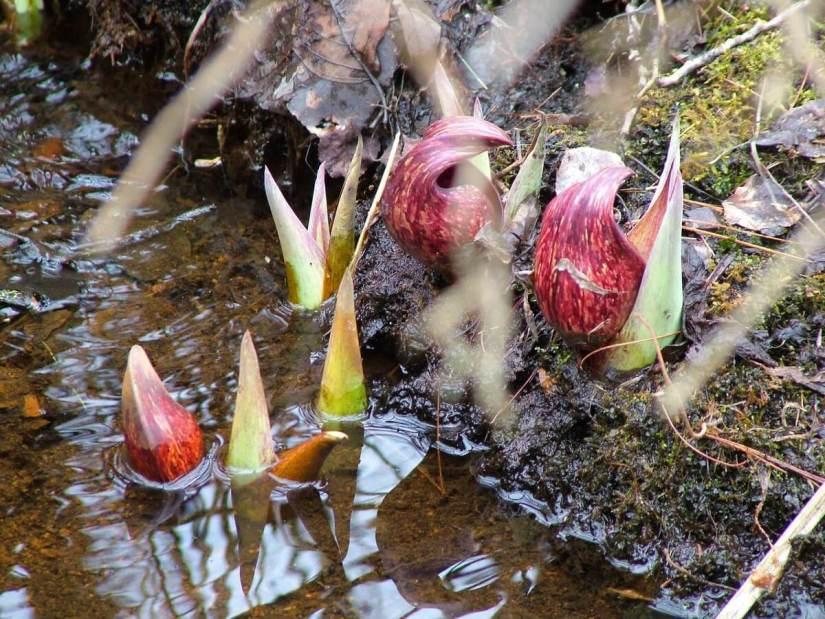 skunk cabbage _dickson Conservation area_ontario 8