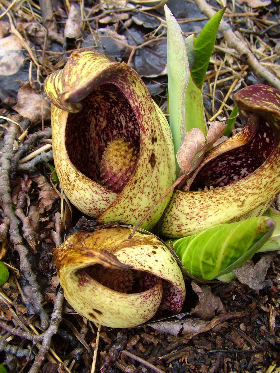Skunk Cabbage and Wintergreen Plants at Dickson Wilderness Area