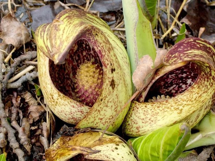 skunk cabbage, dickson Conservation area, cambridge, ontario