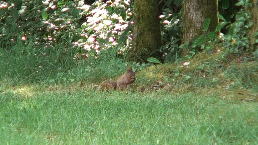 squirrel at ashford castle_ireland