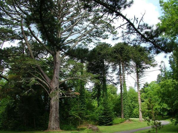 tall trees in forest beside ashford castle - ireland