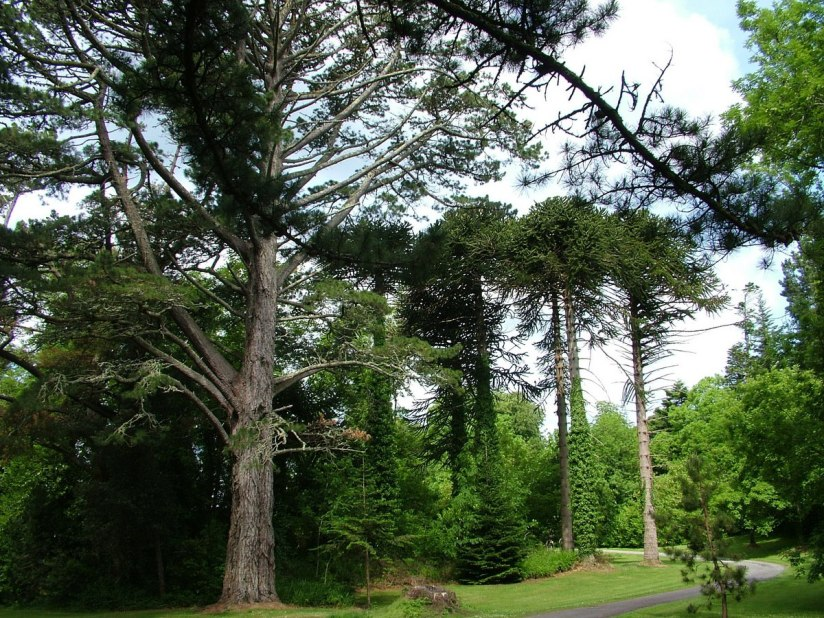 tall trees in forest beside ashford castle - ireland