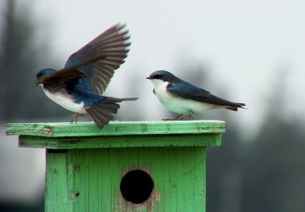 tree swallows near grass lake_cambridge_ontario 3