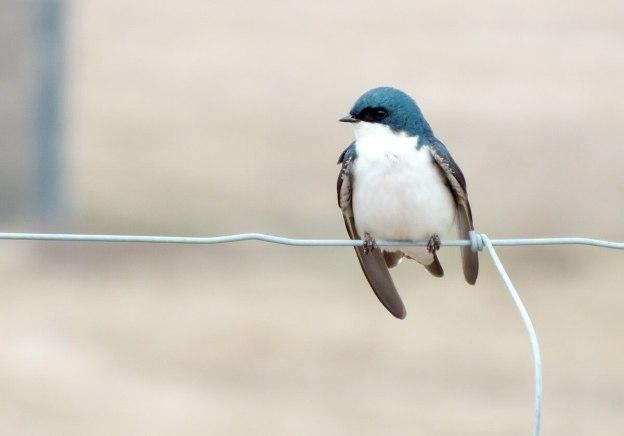 tree swallows near grass lake_cambridge_ontario 8