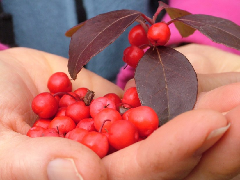 wintergreen berries_dickson Conservation area_ontario 6