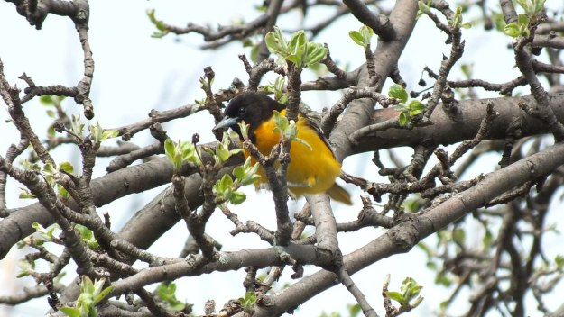 Baltimore Oriole male at buds - Rosetta McClain Gardens - toronto
