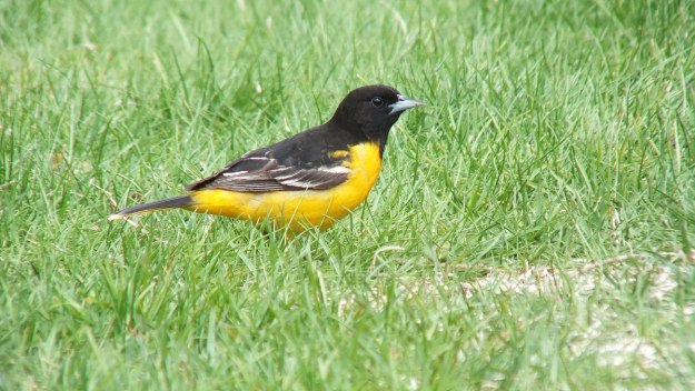 Baltimore Oriole male on grass - Rosetta McClain Gardens - toronto