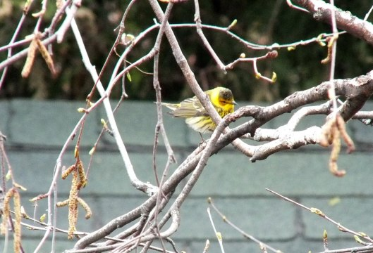 Cape May Warbler in bush - toronto 3
