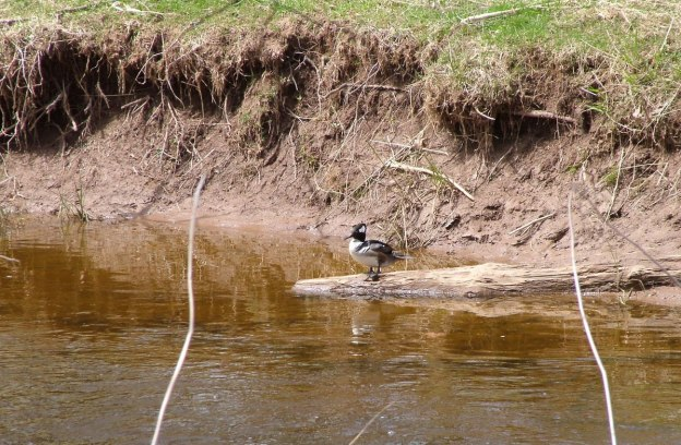 Hooded Merganser on log on grindstone creek - hamilton - ontario