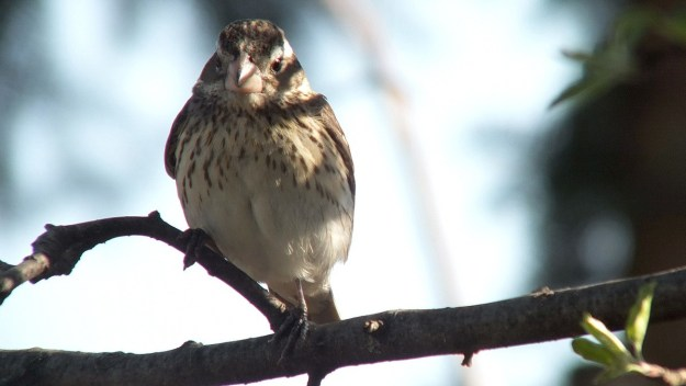 Rose-breasted Gosbeak- female - looks to camera - toronto