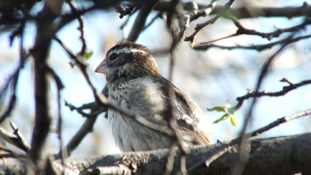 Rose-breasted Gosbeak- female - sitting in tree - toronto 3