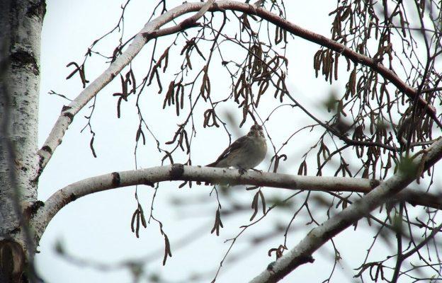 Rose-breasted Gosbeak- female - sitting in tree - toronto