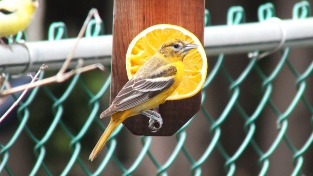 baltimore oriole female in toronto backyard 2