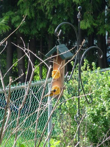 baltimore oriole male - at orange in toronto backyard