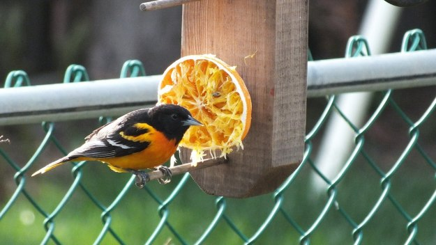 baltimore oriole male - on orange feeder - toronto