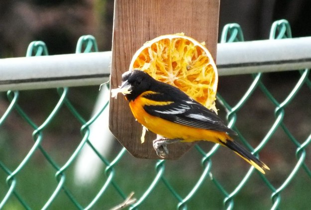 baltimore oriole male - with orange in beak - toronto backyard