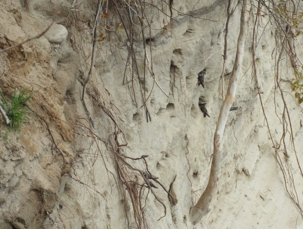 bank swallow nests in the scarborough bluffs - rosetta mcclain gardens - toronto 2