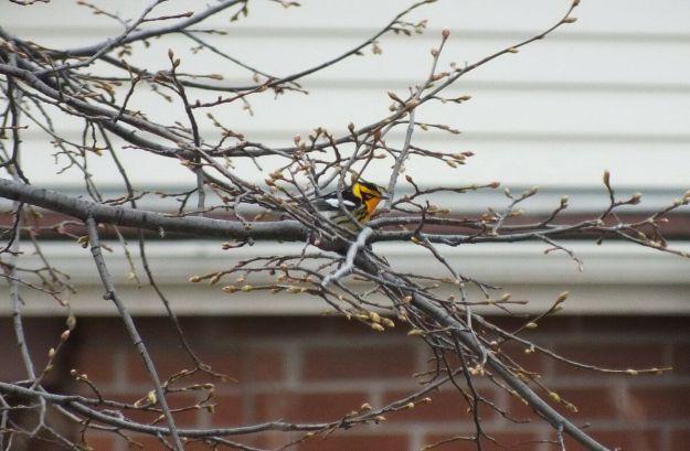 black-burman warbler in tree - toronto
