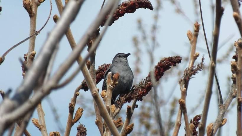 catbird at ashbridges bay park - toronto 4