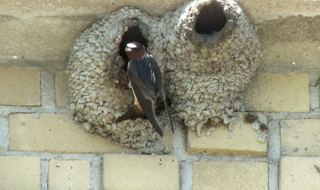 cliff swallow builds nest - harris water treatment building - toronto