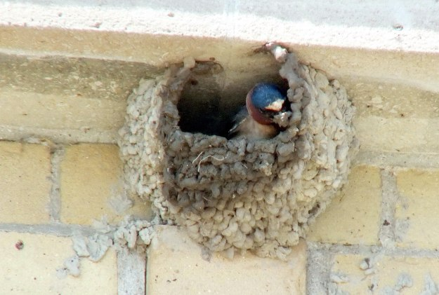 cliff swallow moves mud on beak - harris water treatment building 1