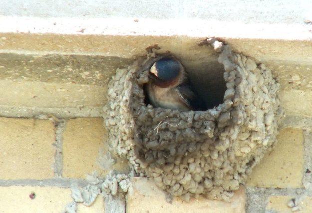 cliff swallow moves mud on beak - toronto