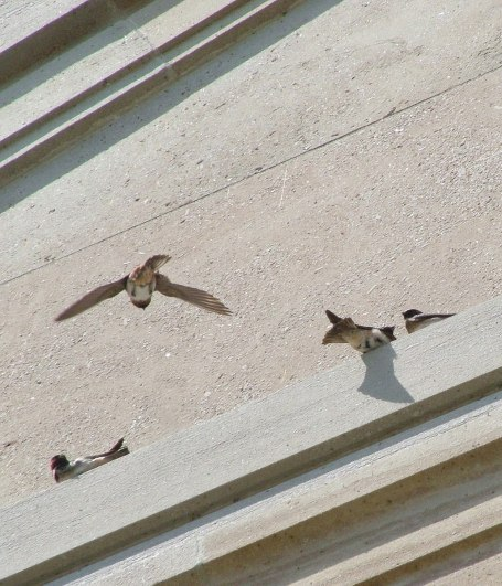 cliff swallow prepares to land on wall - toronto