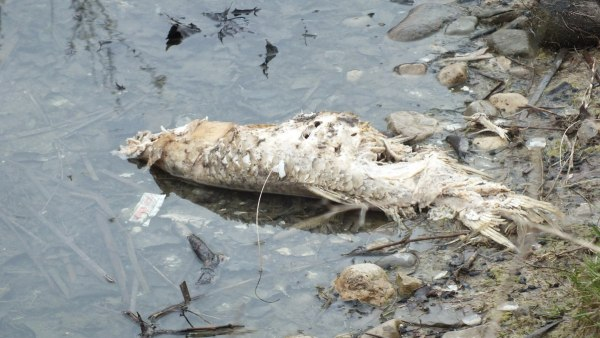 dead fish in pond at milliken park_toronto_ontario