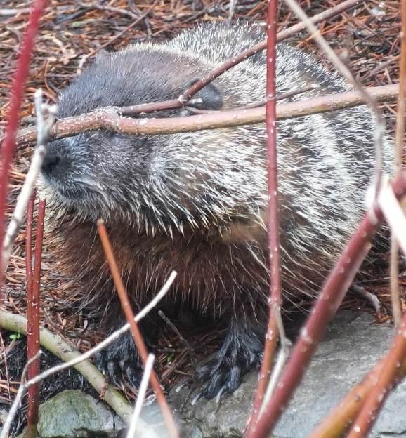 groundhog on rock in milliken park_toronto_ontario