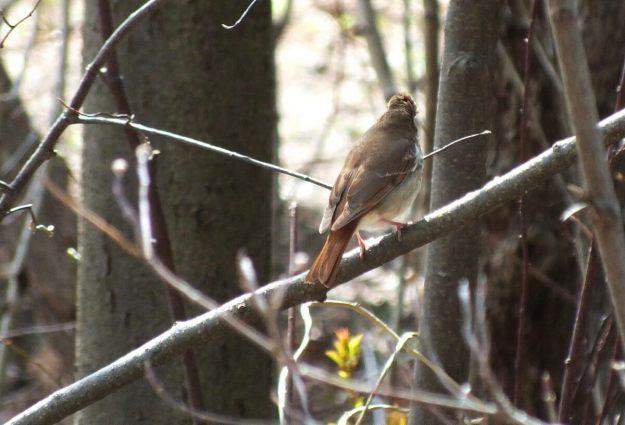 hermit thrush at rosetta mcclain gardens_toronto 6