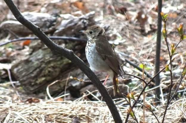 hermit thrush on branch_ rosetta mcclain gardens_toronto 3