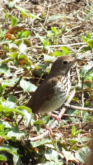 hermit thrush on ground_ rosetta mcclain gardens_toronto 5