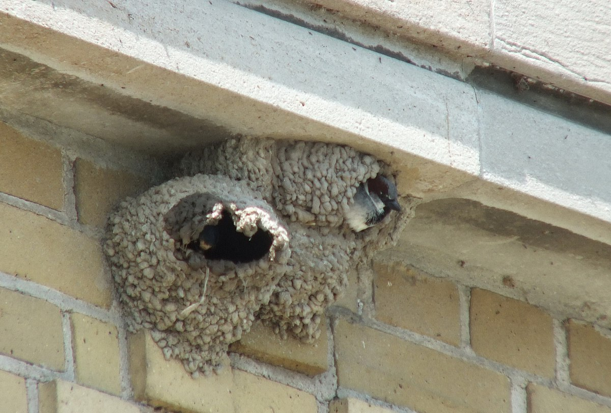 Cliff Swallows At Harris Water Treatment Plant in Toronto