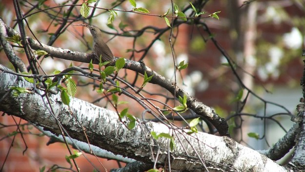 house wren holds a twig - toronto 2