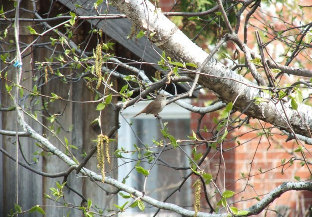 house wren on birch tree - toronto