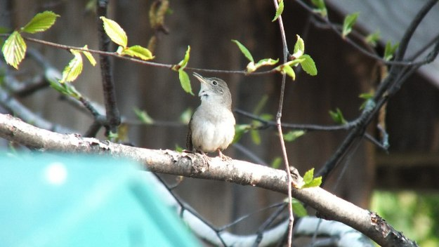 house wren sits on birch tree - toronto