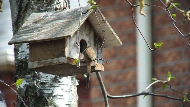 house wren works twig into birdhouse - toronto