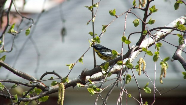magnolia warbler on birch limb - toronto