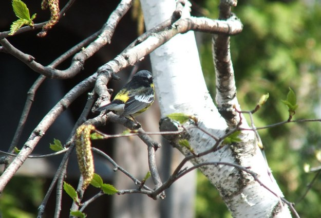 magnolia warbler on birch tree - toronto