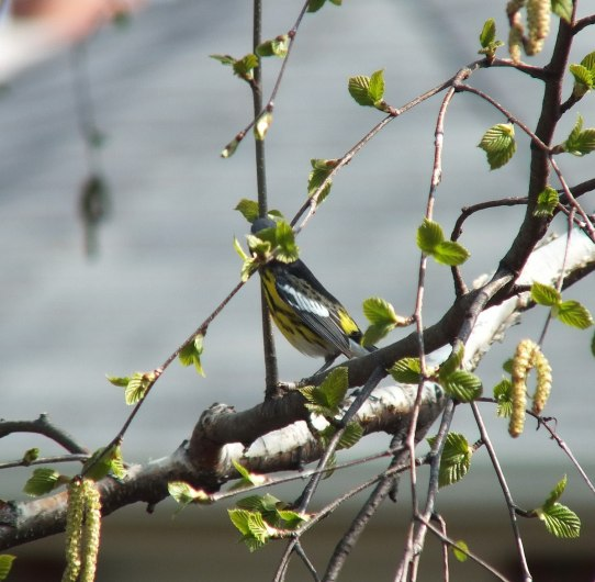 magnolia warbler on tree limb - toronto