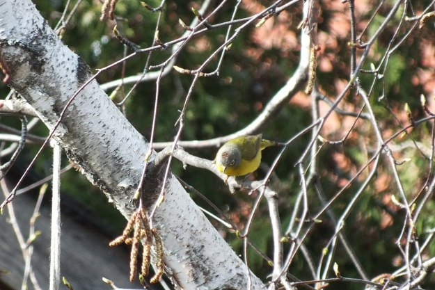 Nashville warbler sitting on a tree in Toronto, Ontario, Canada