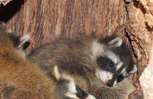 raccoon baby in toronto tree - ontario