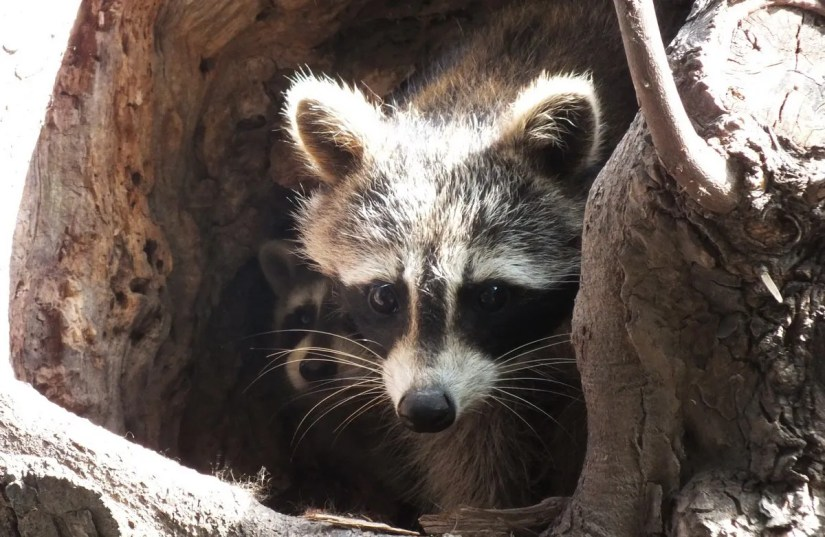 raccoon mother and cub in tree nest - toronto