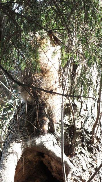 raccoon mother climbs tree - toronto