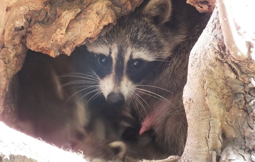 raccoon mother in tree cavity - toronto