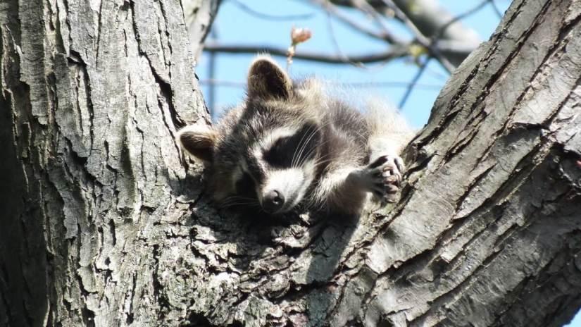raccoon mother sleeps on tree branch - toronto