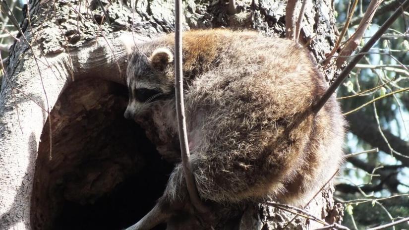 raccoon mother takes a break on tree - toronto