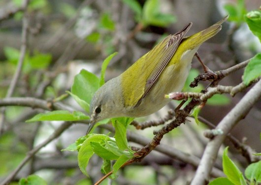 Tennessee Warbler in an apple tree in Toronto, Ontario, Canada